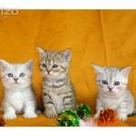 Inzerce koček a koťat